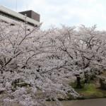 子供と一緒に、群馬県桐生市に桜を見に行ってきました。